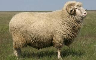Родом из графства кент: овцы породы ромни марш