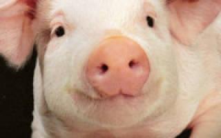 Какие болезни бывают у домашних свиней