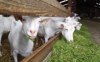 Заболевания коз и особенности их лечения