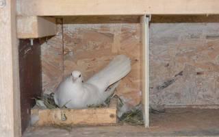 Сколько голуби сидят на яйцах
