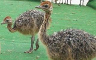 Болезни страусов и их лечение