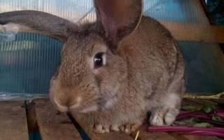 Как кастрировать кроликов в домашних условиях