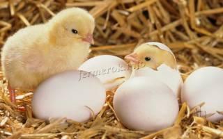 Как вырастить цыплят бройлеров в домашних условиях