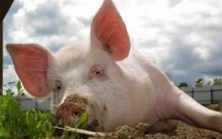 Кормление свиней: составляем оптимальный рацион и выбираем подходящую технологию