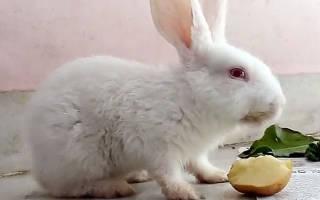 Картошка кроликам: в чем польза и вред, как давать