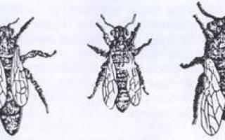 Основные функции пчеломатки в пчелиной семье