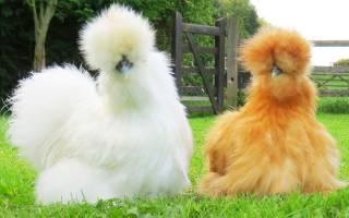 Изучаем лучшие породы декоративных кур
