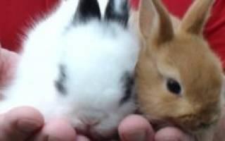 Можно ли давать кроликам кукурузу (зерно, листья)