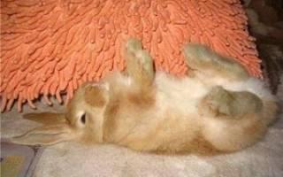 Что делать, если у кролика красная моча