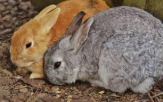 Возможные заболевания печени у кроликов и их лечение
