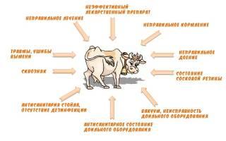 Как лечить мастит у коровы: причины, лечение, профилактика