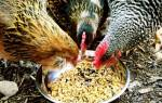 Как приготовить мешанку для кур несушек