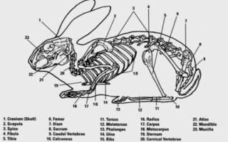 Анатомия кролика: строение скелета, форма черепа, внутренние органы