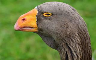 Горьковская и тульская породы бойцовых гусей