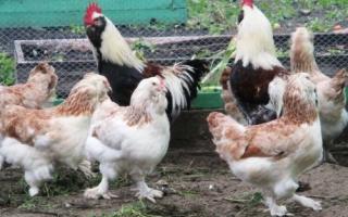 Мясо яичные породы кур: достоинства, недостатки, особенности
