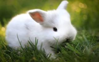 Карликовый кролик гермелин: характеристика породы