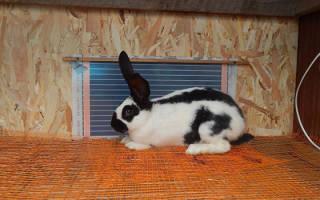 Описание и особенности содержания кроликов породы строкач
