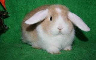 Кролики сатины
