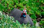 Обыкновенная цесарка: как выглядит, где обитает, чем питается