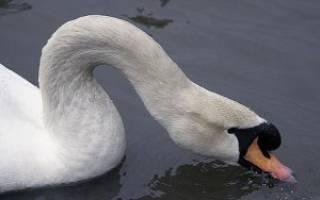Продолжительность жизни лебедей