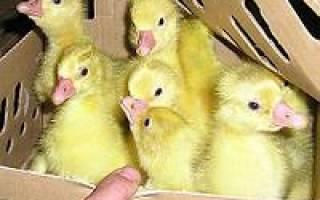 Как перевезти суточных цыплят