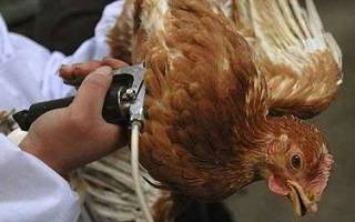 Как проводить комплекс прививок для кур, важность прививок