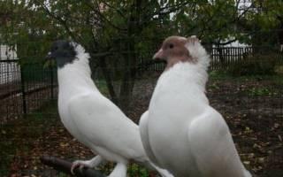 Щекатые бойные голуби