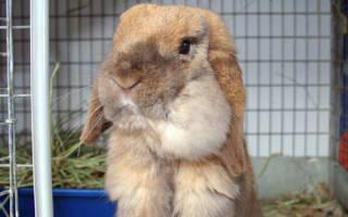 Что делать в случае появления абсцесса у кроликов