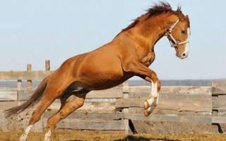 Тракененская лошадь: характеристика породы