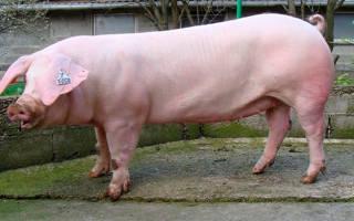 Все о разведении свиней породы ландрас