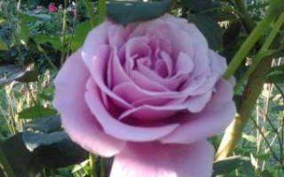 Голубая роза блю парфюм: особенности выращивания