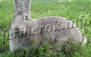 Кролики великаны: описание популярных пород