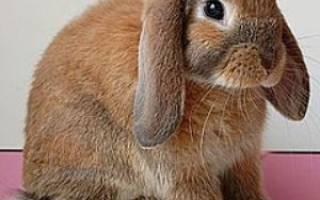 Декоративный кролик воняет: причины, что делать