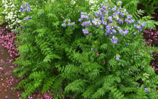 Синюха голубая: описание, выращивание, фото