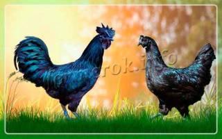 Самая редкая порода кур – аям цемани