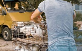 Куры несушки: как выбрать и содержать птиц