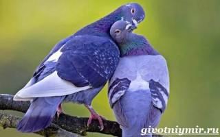 Сизый голубь: как выглядит, где живёт, что ест