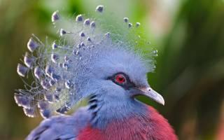Венценосный голубь: как выглядит, где живет, что ест