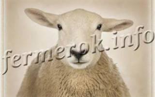 Самые яркие представители овец ценных мясных пород