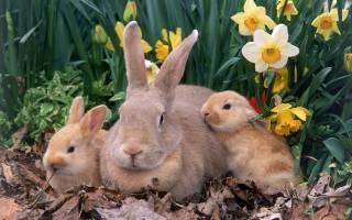 Болезни кроликов, которые несут угрозу здоровью человека