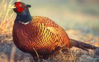 Ушастые фазаны: описание, фото