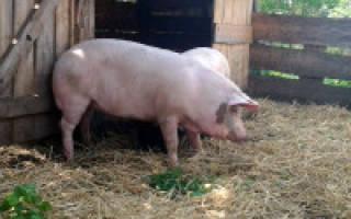 Как построить помещение для свиней, оговариваем все нюансы