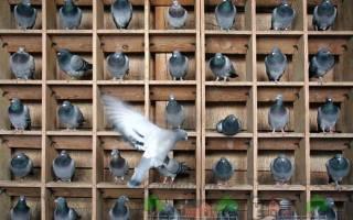 Породы почтовых голубей