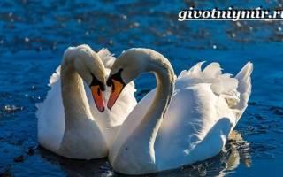 Лебедь шипун: как выглядит, где живёт, что ест