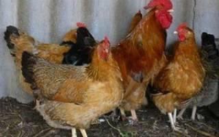 Лечение пастереллеза у домашних кур