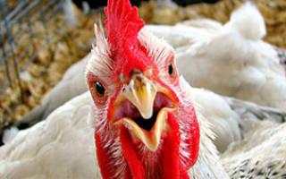 Куриный помет: как заготовить, сохранить и применить