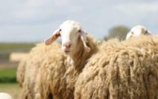 Какие овцы дают много молока: молочные породы