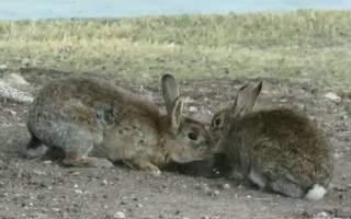 Как лечить пастереллез у кроликов