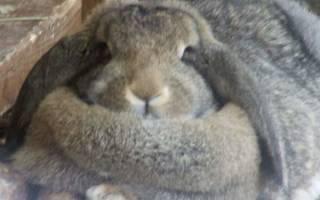 Что делать, если кролик стал толстым