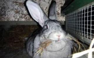 Кролики породы серый великан: перспективы селекционного развития